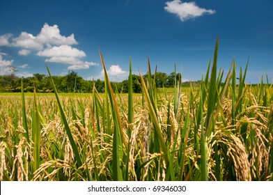 Rice fields and deep blue sky