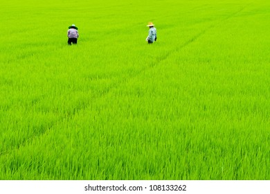 Rice fields and Farmers