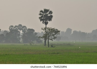 Rice fields, grass fields, grasses, sugar palm trees and white mist in the morning. Beautiful atmosphere.