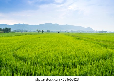 Rice fields of green with mountain background