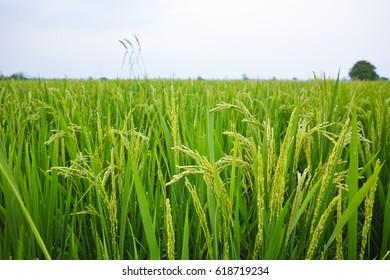 rice fields. Green nature landscape. Paddy jasmine rice fields.