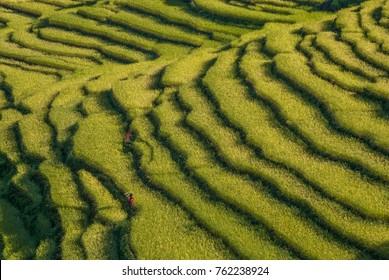 Rice fields growing on terraces everywhere between Ghermu & Bhulbhule villages as seen from Around Annapurna trek trail, Lamjung district, Gandaki zone, Nepal Himalayas, Nepal