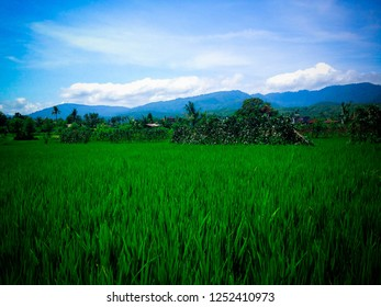 Rice Fields And Hills Of Rural Fields Scenery At Ringdikit Village, North Bali, Indonesia