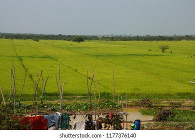 Rice fields in the Kompong Kleang floating fishing village,  Cambodia