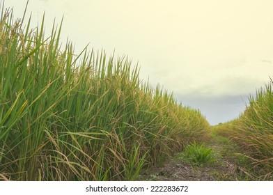 Rice fields in Lamphun Thailand.