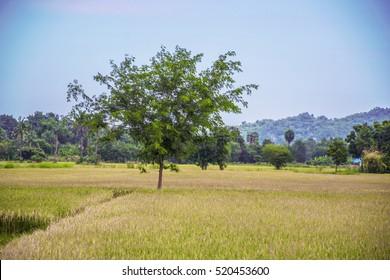 Rice fields landscape background
