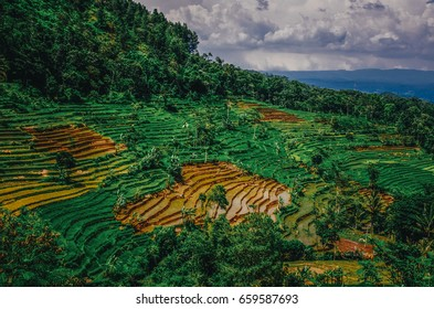 Rice fields in Magelang, Indonesia