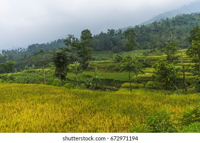 Jawa barat images stock photos vectors shutterstock rice fields with mountain background in purwakarta west java indonesia thecheapjerseys Image collections