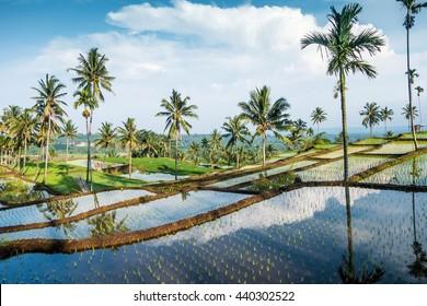 Rice fields near Senaru and Rinjani,Lombok island, Indonesia, Asia