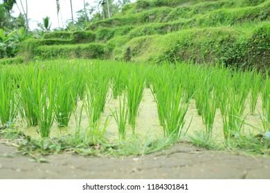 rice fields on Bali, Indonesia