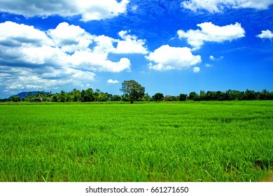 Rice fields on a bright day.