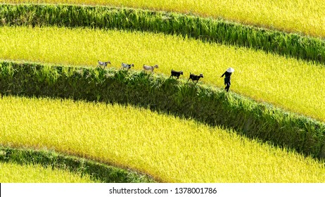 Rice fields on terraced of Hoang Su Phi country, Ha Giang province, North Vietnam