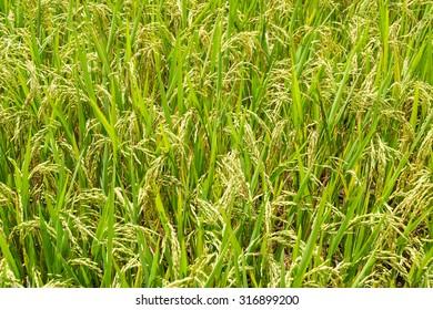 Rice fields on terraced in rainny season at SAPA, Lao Cai, Vietnam