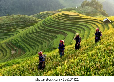 Rice fields on terraces in the sun at MuCangChai, Vietnam. Rice fields prepare the harvest at Northwest Vietnam