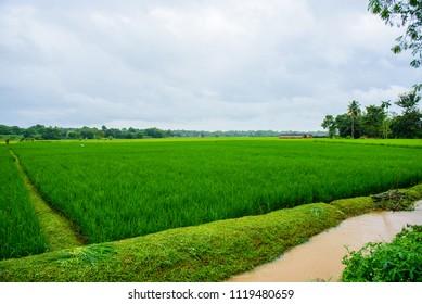 rice fields paddy green farmer