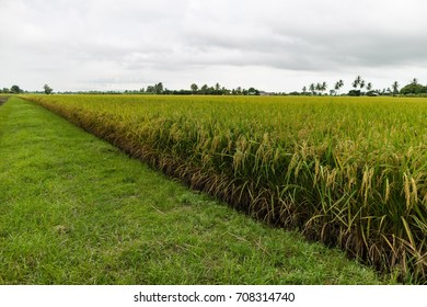 Rice fields are ready to harvest.