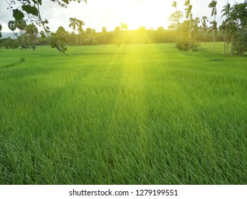 rice fields in the south of Thailand