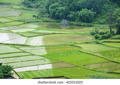The rice fields in spring