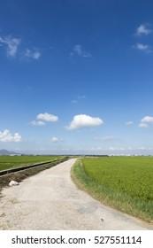 Rice fields in summertime Valencia Spain Green landscape