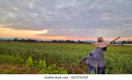Rice fields and sunset with cloud for background. farm dike. scarecrow.