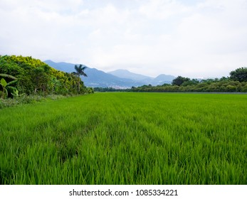 Rice fields in Taiwan