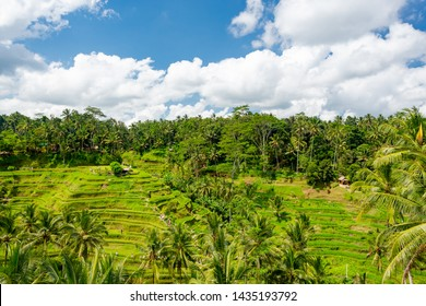 Rice fields in Tegalalang, Bali