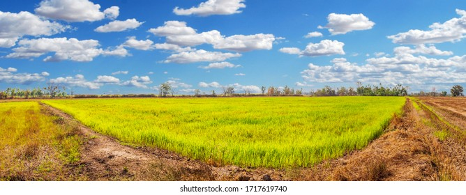 The rice fields that are starting to conceive are full of rice fields.