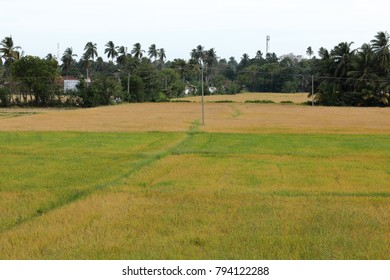 Rice fields at Tissamaharama in Sri Lanka