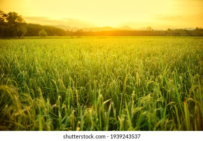 Rice fields with warm light in morning.
