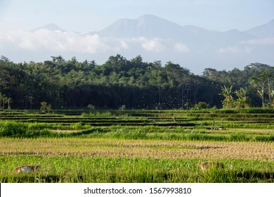 rice fields when finished harvesting in indonesia. Indonesia is a predominantly agriculture country, rice fields or paddy fields are often found here.