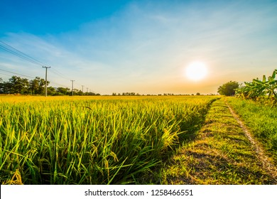 In rice fields where the rice is growing, the yield of rice leaves will change from green to yellow.