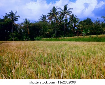 The Rice Fields Will Be Harvested Soon At Ringdikit Village, Buleleng, North Bali, Indonesia