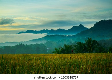 rice fields wit menoreh hill background
