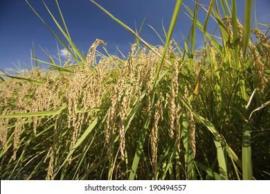 Rice filed