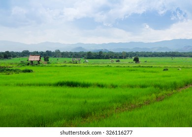 rice filed in rainy season,photo from the north of Thailand