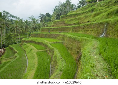 Rice filed and rice terrace on Bali, Indonesia