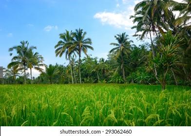 Rice flields