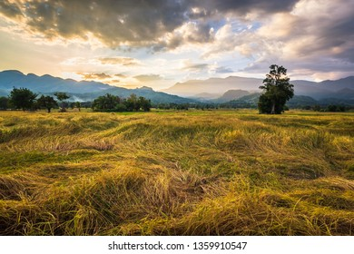 Rice fold to the ground in harvest time, countryside scenic in Lom Kao, Petchabun province of Thailand