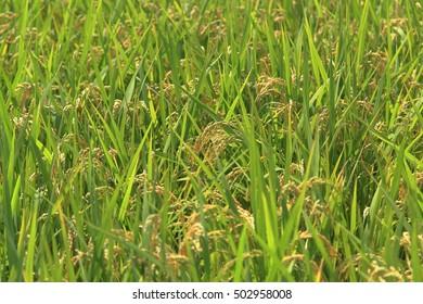 Rice of good harvest