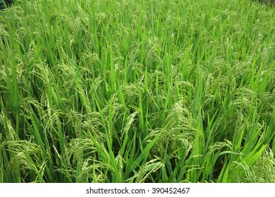 Rice and grain crops