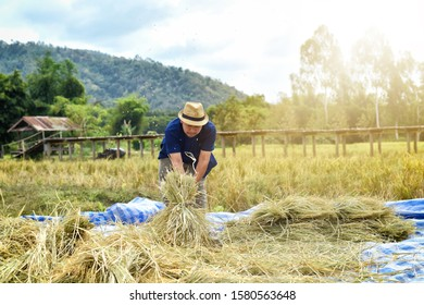 Rice grain threshing during harvest time or The traditional way of threshing grain, of Thai farmers in northeast of Thailand. Concept farmer threshing rice. Farmer harvest rice countryside.