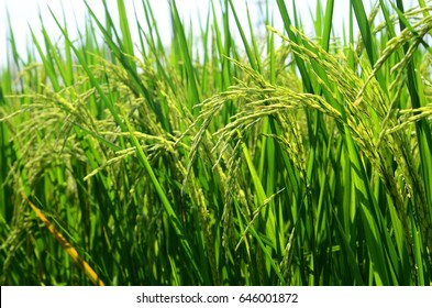 Rice grains in a field