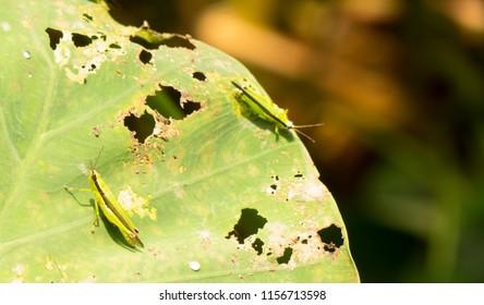 Rice Grasshoppers (Oxya hyla hyla) rest on Colocasia leaf near a paddy field
