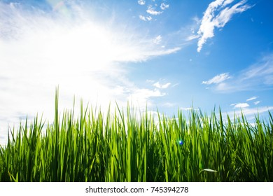 Rice green field with blue sky background
