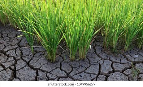 rice grow on drought field