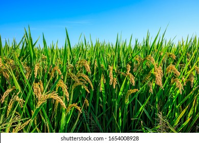 Rice growing in the field in autumn