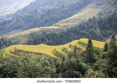Rice grown on a terraced field in a mountainous region turning yellow as it gets ready for harvest