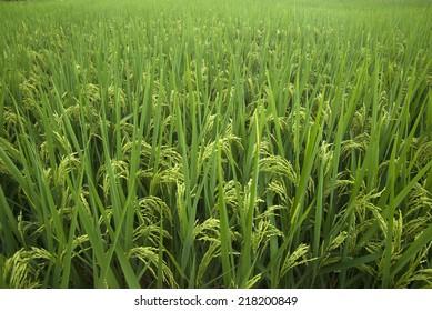 Rice grown ripe harvest