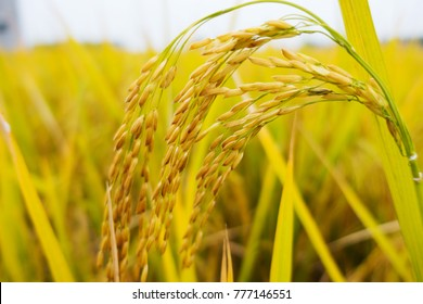 the rice harvest on rice filed