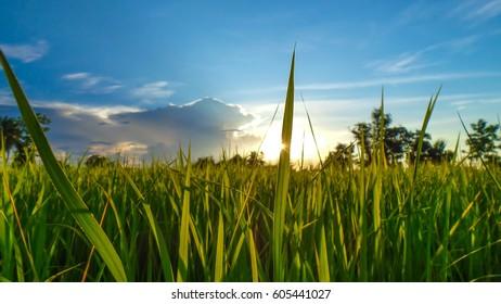 Rice leaves